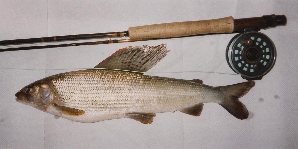 Äsche, 42 cm, 790 g, Trockenfliege