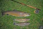 Bachforellen, 67 cm - 37 cm, Streamer