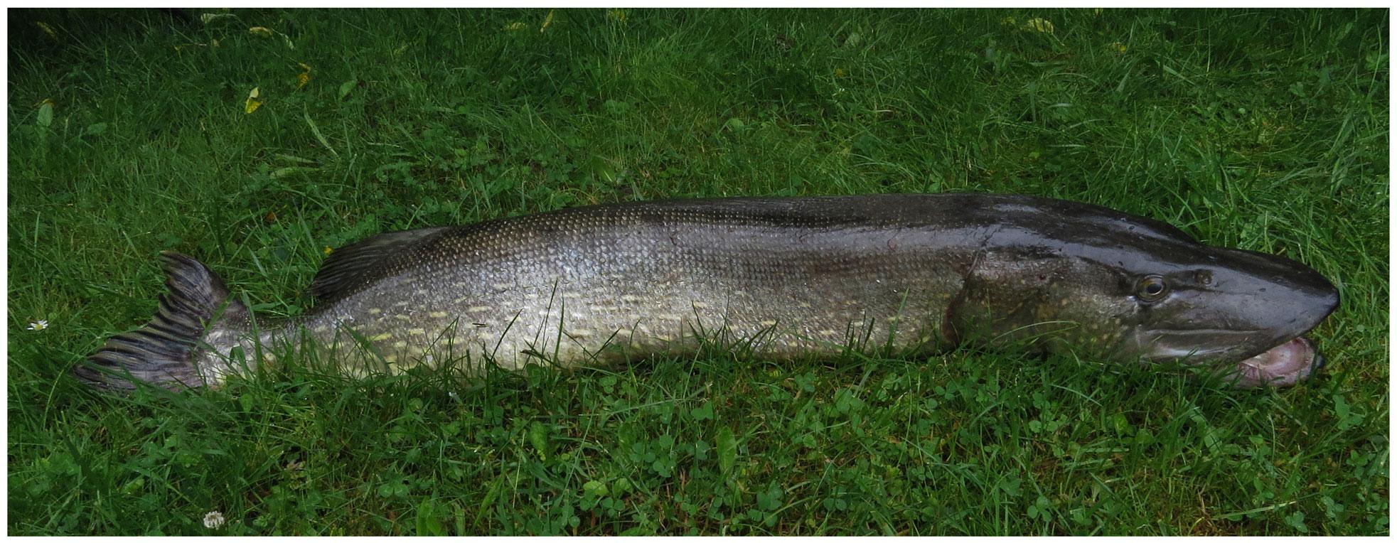 Hecht, 117 cm, 22 Pfd, Toter Köderfisch