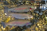 Regenbogenforellen und Saibing, 35 - 41 cm, Wobbler