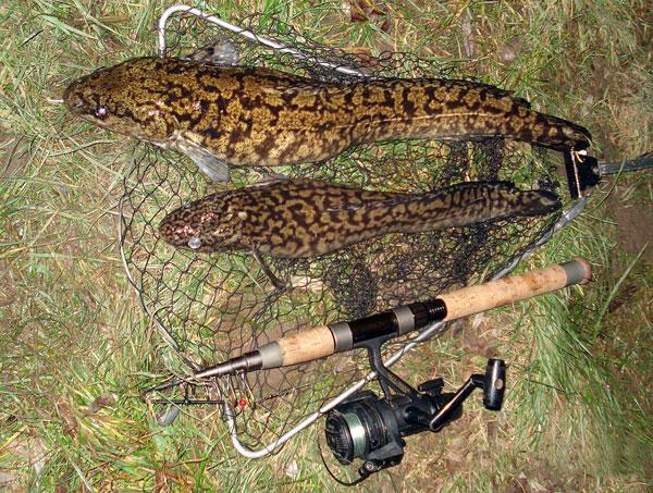Aalrutten, 52 cm u. 59 cm, Köderfisch